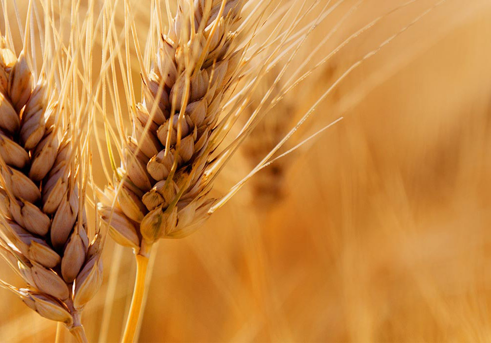 close up image of wheat for World Mission Society Church of God Feast of Tabernacles description